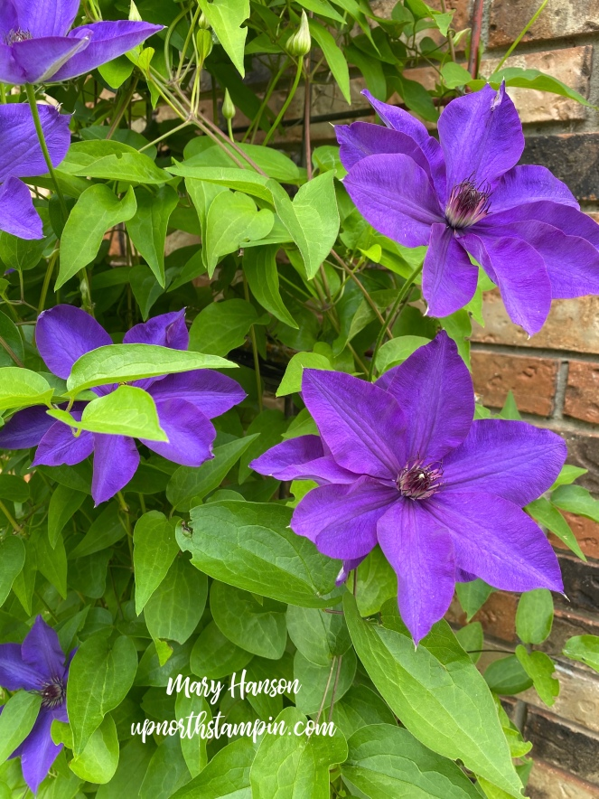 Mom's Clematis - 2020 - Mary Hanson